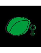Graines de cannabis féminisées (femelles) à acheter en ligne